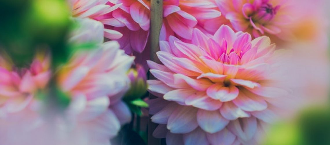 close-up-photography-of-pink-dahlia-flowers-828542